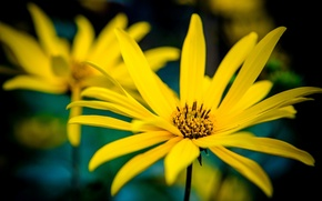 Picture flowers, yellow, background, widescreen, Wallpaper, petals, wallpaper, flowers, flower, widescreen, flowers, background, full screen, HD …