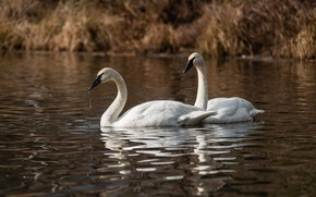 Picture water, shore, pair, white, swans