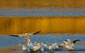 Picture water, birds, shore, wings, pack, Pelican