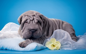 Picture flower, Sharpay, puppy, folds