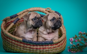 Wallpaper flowers, French bulldog, Duo, puppies