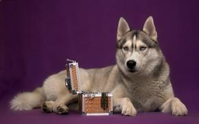 Picture dog, box, husky