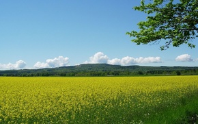 Picture flowers, yellow, Field