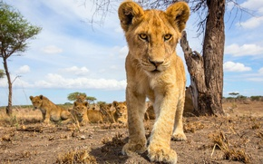 Picture pack, small, the cubs, lion, pride