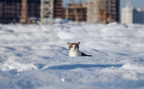 Picture cat, look, snow, Winter, wool, the snow