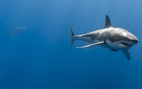 Picture sea, the ocean, depth, pair, sharks, great white shark