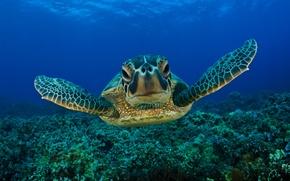 Wallpaper sea turtle, sea, water, face, eyes