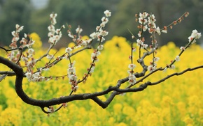 Picture flowers, tree, bokeh, plum, field of gold, plum blossoms