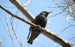 Picture bird, spring, Starling