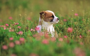 Picture dog, flowers, flowers, puppy, puppy, dog, grass, 1920x1200, grass