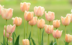Wallpaper tenderness, buds, tulips
