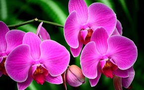 Picture flowers, plant, Orchid