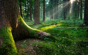 Picture forest, grass, leaves, the sun, light, roots, moss, Tree, the rays of the sun