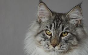 Picture animals, cat, look, British fold