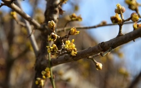 Picture yellow, spring, flowering, kidney, dogwood