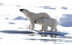 Picture winter, snow, predators, polar bears