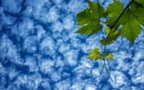 Picture the sky, leaves, clouds, branch, grapes