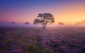 Picture field, fog, tree, dawn, morning, Heather