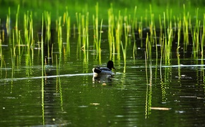 Picture lake, pond, reed, duck