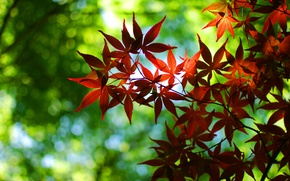 Picture greens, autumn, leaves, trees, red, nature, green, tree, foliage, leaf, leaves, leaf, sheets, widescreen Wallpaper, ...