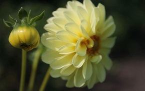 Picture yellow, Flower, Dahlia