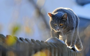 Picture animals, cat, the fence, the cat goes