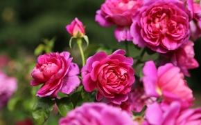 Wallpaper rose Bush, roses, macro