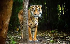 Picture look, nature, tiger, strip, predator