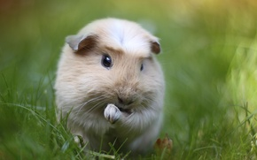 Picture greens, grass, macro, Guinea pig, rodent