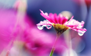 Picture flower, drops, bright, Rosa, pink