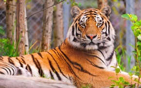 Picture face, tiger, lies, looks, striped handsome