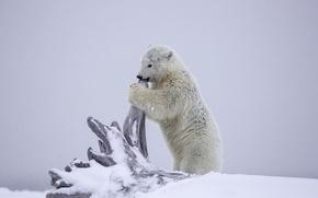 Picture Alaska, bear, polar bear, snow, winter, cub, snag, bear