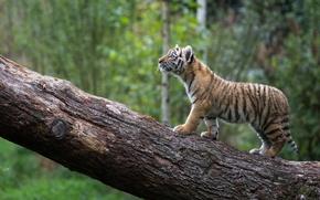 Wallpaper log, tiger, kitty