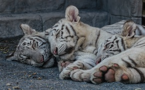 Picture cat, stay, sleep, kittens, white tiger, the cubs, tiger, cubs, Trinity