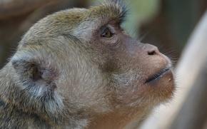 Picture animals, monkey, Thailand