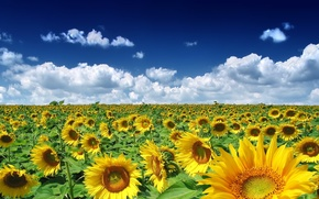 Wallpaper field, Sunflowers, clouds