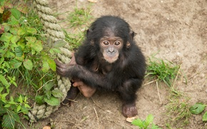 Picture look, Bush, monkey, rope, cub, chimpanzees, the primacy of