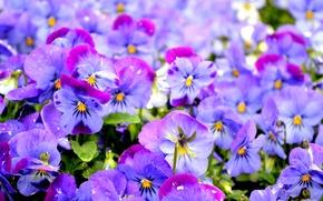 Wallpaper purple, Pansy, viola