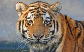 Picture look, face, tiger, predator