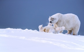 Picture winter, snow, the game, bears, Alaska, bear, cub, polar bears, bear, fun