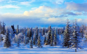 Picture winter, snow, trees, landscape, Nature, USA, Alaska, painting, winter, Forest
