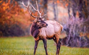 Picture forest, nature, animal, spring, Deer, horns