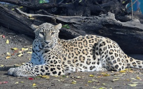 Picture look, stay, predator, leopard, panthera pardus, Persian