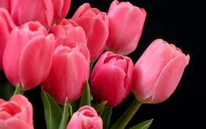 Picture Tulips, pink, on a dark background