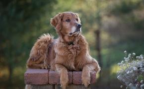 Wallpaper bokeh, portrait, Golden Retriever, dog, Golden Retriever, flowers