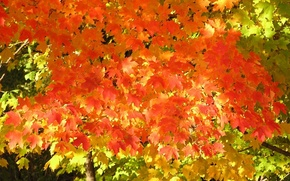 Picture autumn, leaves, light, mood, foliage, silence, maple, the crimson