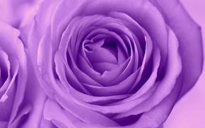 Picture macro, rose, petals, Bud, lilac