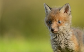Picture look, muzzle, baby, cub, Fox, Fox