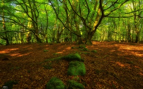 Picture green, grass, trees, rocks, leafs, moss, Forest
