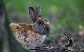 Picture branches, rabbit, ears